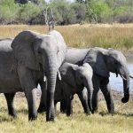 Le grand voyage des éléphants