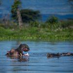 Kenya: Un touriste taïwanais mortellement mordu par un hippopotame (B1)